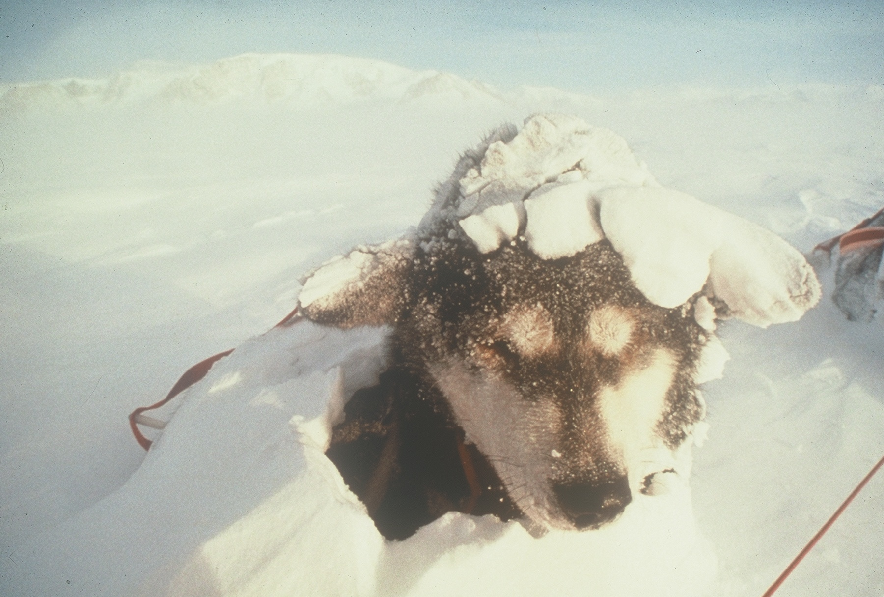 Dogs kept off the wind and cold under the snow.